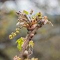 Quercus pubescens in Aveyron (3).jpg