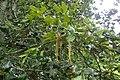 Quercus semecarpifolia kz04.jpg