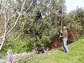 Récolte d'olives à Ifenain Ilmathen.jpg