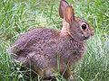 Rabbit-closeup-profile.jpg