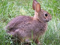 Rabbit-closeup-profile.jpg