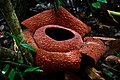 Rafflesia zollingeriana Kds.jpg