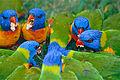 Rainbow Lorikeets (Trichoglossus moluccanus) feeding frenzy (9935512144).jpg