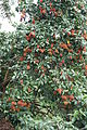 Rambutan (Nephelium lappaceum).JPG