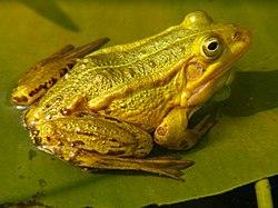 Fig. 1 Petite grenouille verte ou Grenouille de Lessona