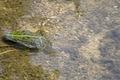 Rana arvalis nage sous l'eau dans une douve au parc national des Cévennes près d'Anduze.tif
