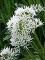 Ransom (Allium ursinum ) - geograph.org.uk - 828142.jpg