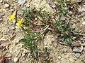 Ranunculus repens sl2.jpg