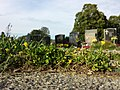 Ranunculus sardous subsp. sardous sl23.jpg