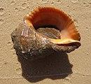 Rapana Black Sea 2009 G5.jpg