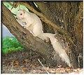 Rare White Albino Squirrel.jpg