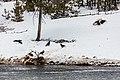 Ravens scavenging an elk carcass (ff8c7ff9-b8d0-4b44-a84b-1e06751104e8).jpg