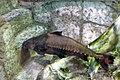 Razorback catfish.JPG