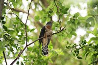 Red-chested Cuckoo (Cuculus solitarius) in tree