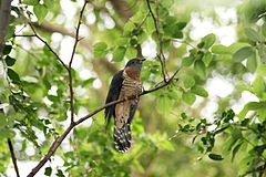 Red-chested Cuckoo (Cuculus solitarius) in tree.jpg