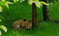Red-fox-laying-grass-forest-head-down - West Virginia - ForestWander.jpg