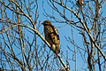 Red-shouldered hawk (25525875988).jpg