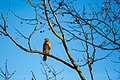 Red-shouldered hawk (47344179312).jpg