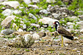 Red-wattled lapwing (20454802305).jpg