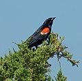 Red-winged blackbird on Sandy Hook (70003).jpg