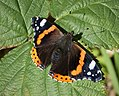 Red Admiral (37189727095).jpg