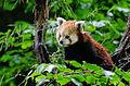 Red Panda (17947075340).jpg