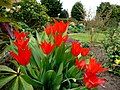 Red tulips - geograph.org.uk - 1237714.jpg