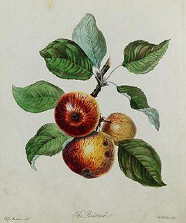 Redstreak apple cultivar