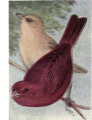 Reed-summer-tanager.png