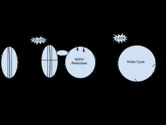 Cellular respiration - Image: Respiration diagram