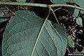 Reynoutria japonica leaf (16).jpg