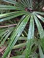Rhapidophyllum hystrix epiphylls 001 by Scott Zona.jpg