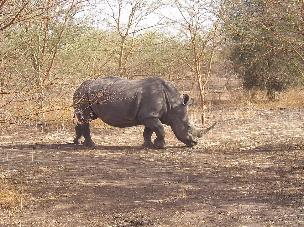 Rhinoceros blanc- réserve de Bandia - panoramio