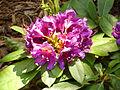 Rhododendron 'Rasputin' RPO.jpg