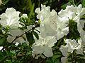 Rhododendron 'Schnee' 02.jpg