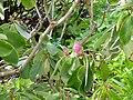 Rhododendron fortunei - University of Copenhagen Botanical Garden - DSC07564.JPG