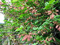 Ribes petraeum, J. Garmendia 5068.JPG