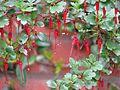 Ribes speciosum - Flickr - peganum.jpg