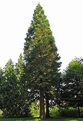 Riesenmammutbaum (Sequoiadendron giganteum).jpg