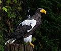 Riesenseeadler Walsrode 2014 03.jpg