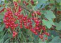 Rode bessen (Ribes rubrum).jpg