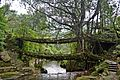 Root Bridges at Nonghriat.jpg