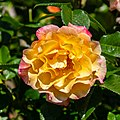 Rosa 'Queen Mother', Bad Wörishofen, Alemania, 2019-06-20, DD 22.jpg