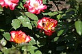 Rosa Betty Boop 4zz.jpg