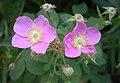 Rosa californica 2004-07-20.jpg