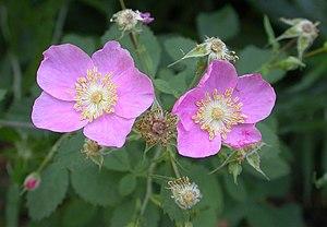 Rosa californica - Image: Rosa californica 2004 07 20