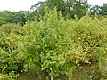 Rosa majalis plant (04).jpg