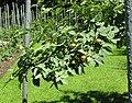 Rosa villosa fruit (13).jpg