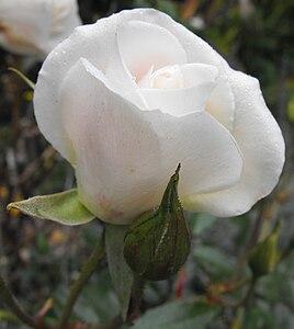 Rosafloribundaiceberg.jpg