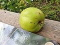 Rosales - Sir Isaac Newton's Apple - 5.jpg